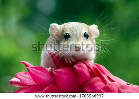 Cute gerbil mouse closeup face, Garbil mouse on red flower