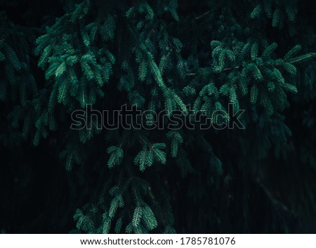 Beautiful coniferous tree, christmas tree, winter time, evergreen tree. Royalty-Free Stock Photo #1785781076