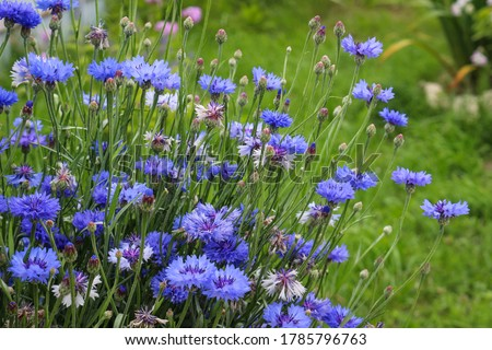 Blue flowers cornflowers in the garden. Cornflower in the flowerbed. Summer wildflower. #1785796763