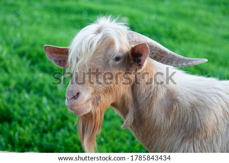 Portrait of a goat with a bangs of hair which give her a beauty style. She is standing on the grass looking to the left