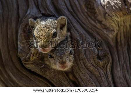 Two baby Tree Squirrels looking out their nest in a natural tree hole Royalty-Free Stock Photo #1785903254