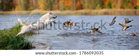 golden retriever dog jumping into the river chasing ducks