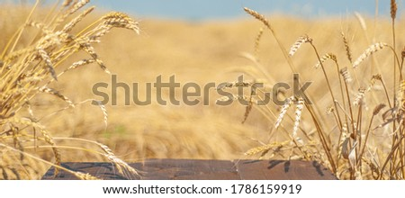 Empty wooden boards against the background of a wheat field and a blue sky. Banner.