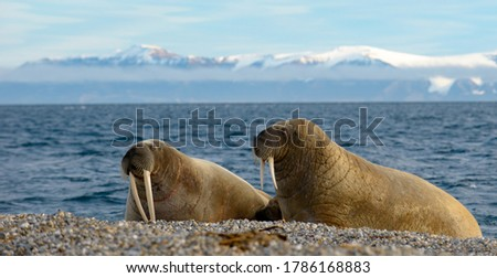Two walruses protecting a young calf nestled between them in Svalbard in the Norwegian Arctic.