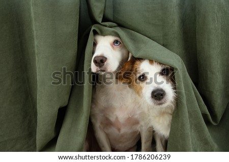 two scared or afraid puppy dogs wrapped with a curtain.  #1786206239