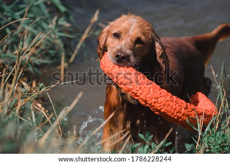Portrait of a red Spaniel close-up. A beautiful thoroughbred dog with long ears. Muzzle of a Cocker Spaniel, an English hunting dog breed. Russian hunting Spaniel red color holds a toy in his teeth. #1786228244
