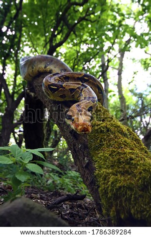 The boa constrictor (Boa constrictor), also called the red-tailed or the common boa on a branch in the middle of the forest. A large snake on a branch in the green of a bright forest. #1786389284