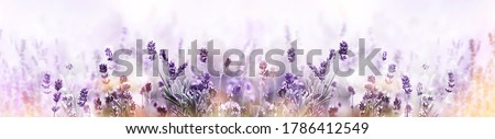 Blooming Lavender flowers field panoramic view for summer background, banner. Soft selective focus. Royalty-Free Stock Photo #1786412549