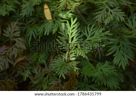 Selaginella plant is the sole genus of vascular plants in the family Selaginellaceae, the spikemosses or lesser clubmosses. #1786435799