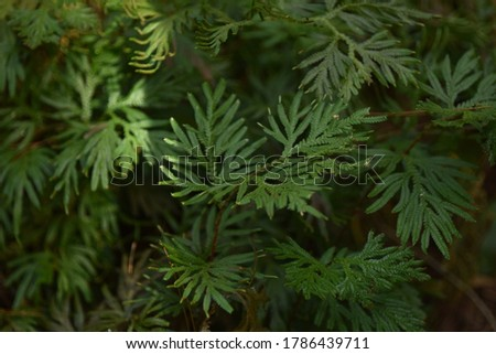 Selaginella plant is the sole genus of vascular plants in the family Selaginellaceae, the spikemosses or lesser clubmosses. #1786439711