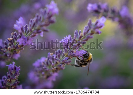 Close up picture with a lavender and worker bee with beautiful purple colors.