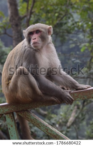 this is the picture of indian monkey. botanical name as Cercopithecidae macaca