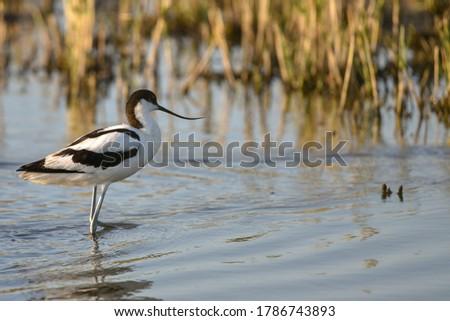 Avocet in natural habitat in Hampshire, UK Royalty-Free Stock Photo #1786743893