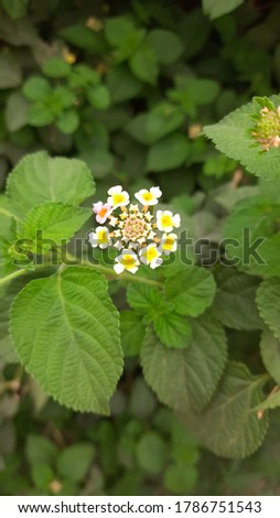Lantana camara is a species of flowering plant within the verbena family, native to the American tropics. Other common names of L. camara include big-sage, wild-sage, red-sage, white-sage, korsu wiri  #1786751543