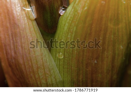 A macro, close up photography of Amaryllis flower buds before full blossom.