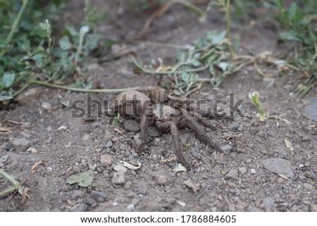 spider tarantula female spider tarantula in the nature close up of tarantula closeup tarantula insects, insect, bug, bugs, animal, animals, wildlife, wild nature, forest, woods, garden, park