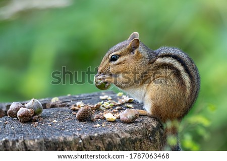 Eastern chipmunk perched on a stump eating acorns with blurry green background Royalty-Free Stock Photo #1787063468