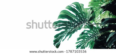 Tropical leaves pattern foliage plant bush Monstera (Monstera deliciosa) nature frame layout on white background for banner and cover page, tropical summer houseplant and forest concepts. Royalty-Free Stock Photo #1787103536