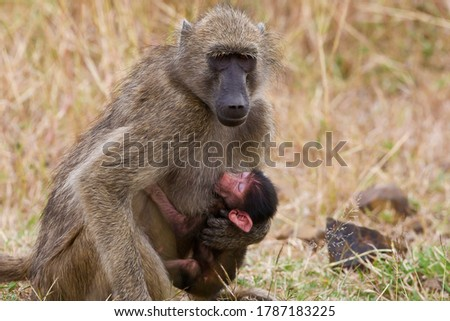 Mother baboon with little baby baboon