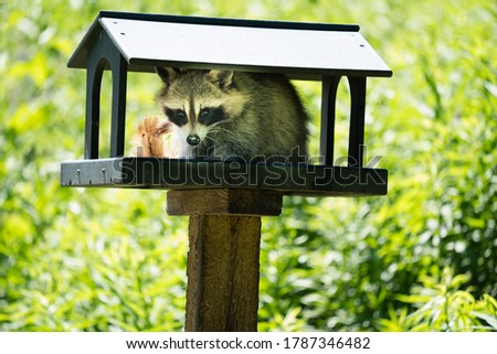 Beautiful picture of a raccoon