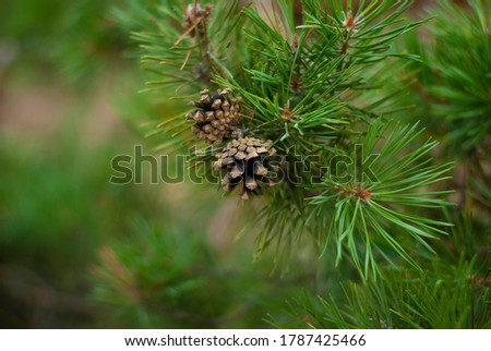 Two pine cones on the tree beautiful background nature picture