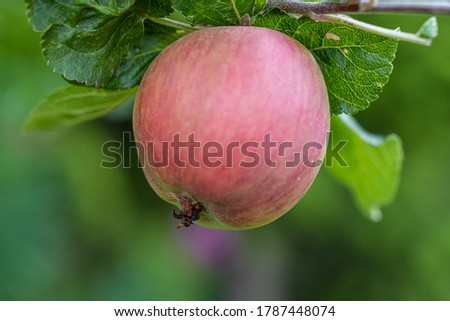 Close-up picture of a red apple on a tree. Green leaves and a green, blurry background