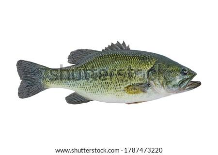 Largemouth bass fish isolated on white background Royalty-Free Stock Photo #1787473220
