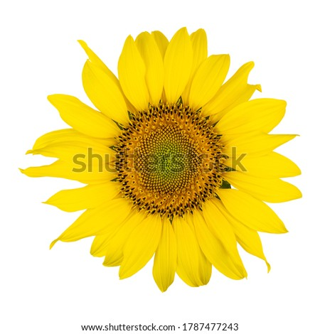 Sunflower head in high resolution isolated on white background.