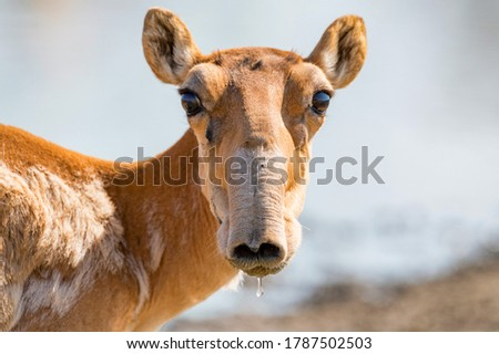 Saiga antelope or Saiga tatarica drinks in steppe Royalty-Free Stock Photo #1787502503