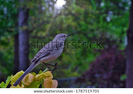 Northern Mockingbird on a late spring day