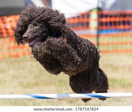 Irish Water Spaniel dog doing agility Royalty-Free Stock Photo #1787547824