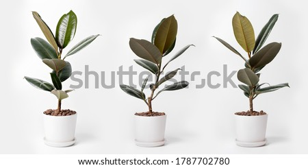 Modern houseplants Ficus Elastica Burgundy or Rubber Plant in white pot. Minimal creative home decor concept Royalty-Free Stock Photo #1787702780