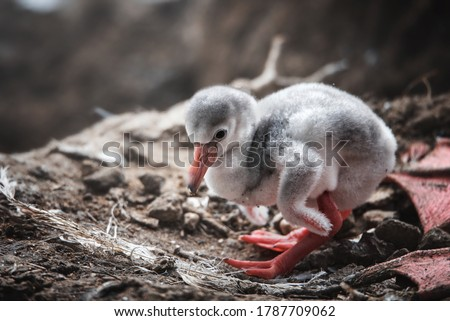 Flamingos (Phoenicopteridae) newborn baby in nest. Royalty-Free Stock Photo #1787709062