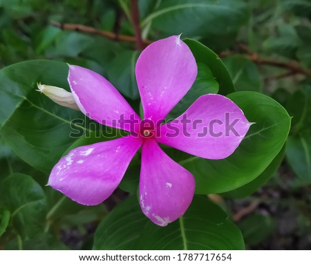 Catharanthus roseus, commonly known as bright eyes, Cape periwinkle, graveyard plant, Madagascar periwinkle, pink periwinkle, rose periwinkle,is a species of flowering plant in the family Apocynaceae #1787717654