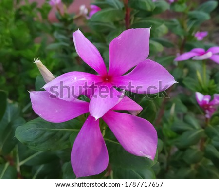 Catharanthus roseus, commonly known as bright eyes, Cape periwinkle, graveyard plant, Madagascar periwinkle, pink periwinkle, rose periwinkle,is a species of flowering plant in the family Apocynaceae #1787717657