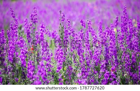 Flowering field with Rocket Larkspur (Consolida ambigua). Purple Larkspur (Consolida orientalis) flowering #1787727620