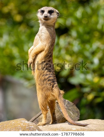 Meerkat guarding his colony from a rock