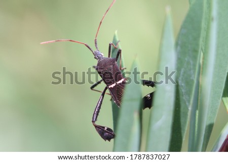 Closeup picture of leaf-footed bug