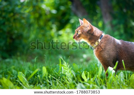 Abyssinian cat in collar, walking in juicy green grass. High quality advertising stock photo. Pets walking in the summer, space for text