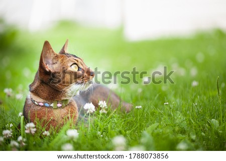 Abyssinian cat in collar, lying in juicy green grass. High quality advertising stock photo. Pets walking in the summer, space for text