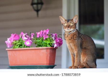 Abyssinian cat in collar, sitting on a terrace with flowers . High quality advertising stock photo. Pets walking in the summer