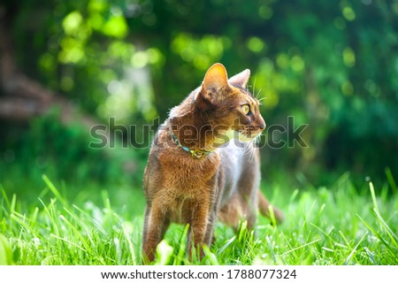 Abyssinian cat in collar, walking in juicy green grass. High quality advertising stock photo. Pets walking in the summer