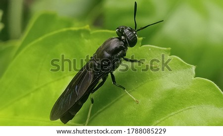 Hermetia illucens, the black soldier fly, is a common and widespread fly of the family Stratiomyidae. Royalty-Free Stock Photo #1788085229