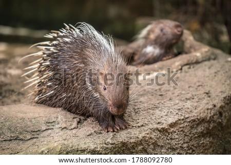 Portrait of cute porcupine. The Malayan porcupine or Himalayan porcupine .