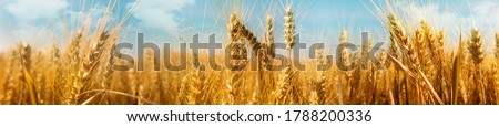 Seasonal wheat field in luminous golden colors. Close-up with short depth of field and abstract bokeh. Background for a nutrition concept.