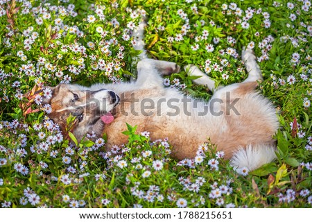 a laika puppy with its tongue hanging out. the dog is lying in flowers. happy puppy with his tongue hanging out. Laika in summer colors. a dog of the Laika breed lies up with its paws #1788215651
