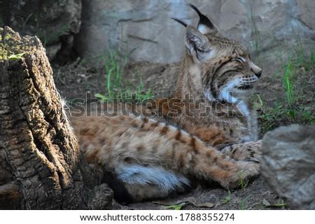 Wild cat Eurasian Lynx (Lynx lynx) resting with closed eyes #1788355274