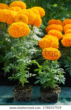 Marigolds Orange Color (Tagetes erecta, Mexican marigold, Aztec marigold, African marigold), marigold pot plant with roots #1788357929