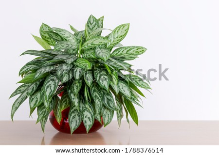 Aglaonema Maria houseplant cuttings in a red glass vase in front of a white wall, Chinese Evergreen, house plant, indoor plant Royalty-Free Stock Photo #1788376514