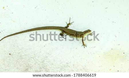 Reptiles, lizard looks into the lens on a white isolate. Background picture.